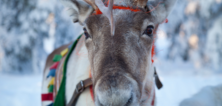 finland_lapland_yllas_reindeer.jpg